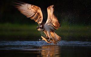 JS100016545_Getty-Images_Bird-Ospreys-large_trans_NvBQzQNjv4BqLeUJvOJqnV613e1NxllMSQQ9-W92tdK6JGsXq-YKMZA